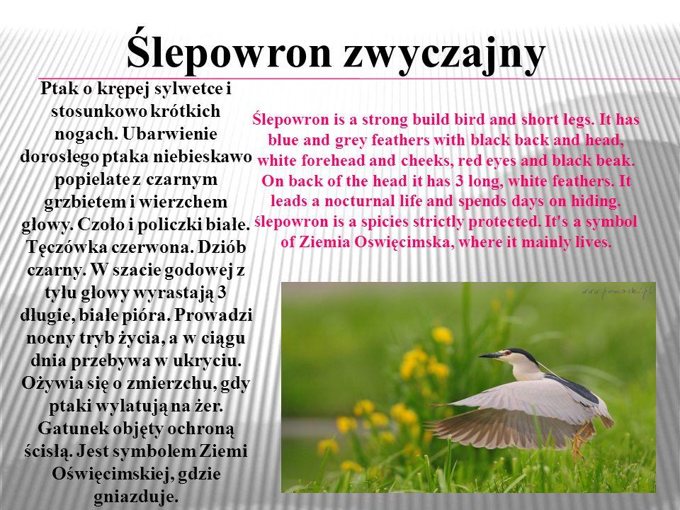 Ślepowron zwyczajny Ptak o krępej sylwetce i stosunkowo krótkich nogach. Ubarwienie dorosłego ptaka niebieskawo popielate z czarnym grzbietem i wierzc
