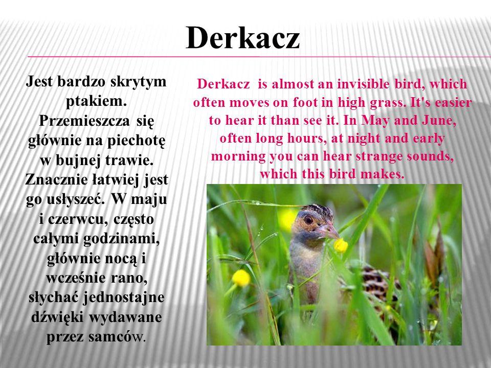 Derkacz Jest bardzo skrytym ptakiem.Przemieszcza się głównie na piechotę w bujnej trawie.