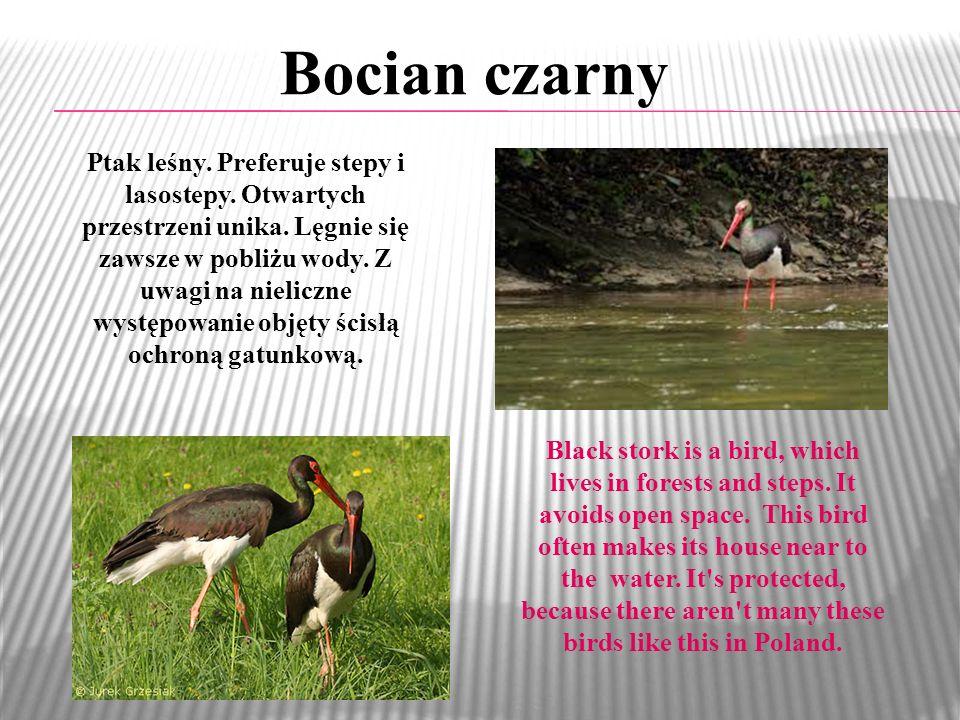 Bocian czarny Ptak leśny.Preferuje stepy i lasostepy.