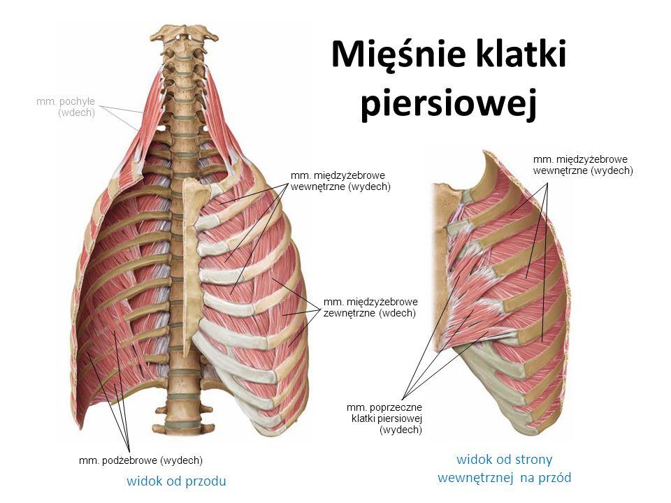 mm. międzyżebrowe wewnętrzne (wydech) mm. międzyżebrowe zewnętrzne (wdech) mm. międzyżebrowe wewnętrzne (wydech) mm. podżebrowe (wydech) mm. poprzeczn