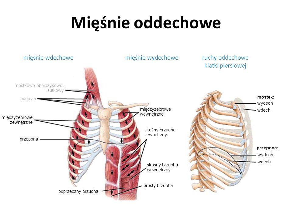 Mięśnie oddechowe mięśnie wdechowemięśnie wydechoweruchy oddechowe klatki piersiowej przepona przepona: międzyżebrowe zewnętrzne pochyłe mostkowo-oboj