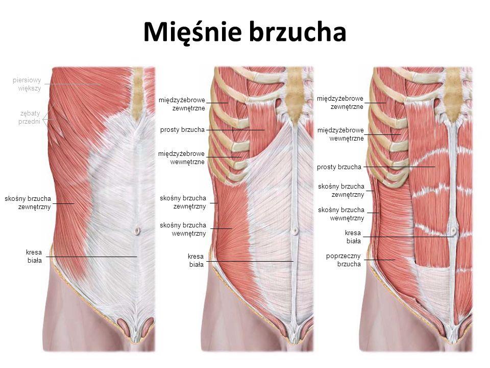 Mięśnie brzucha międzyżebrowe zewnętrzne międzyżebrowe wewnętrzne prosty brzucha skośny brzucha zewnętrzny skośny brzucha wewnętrzny piersiowy większy