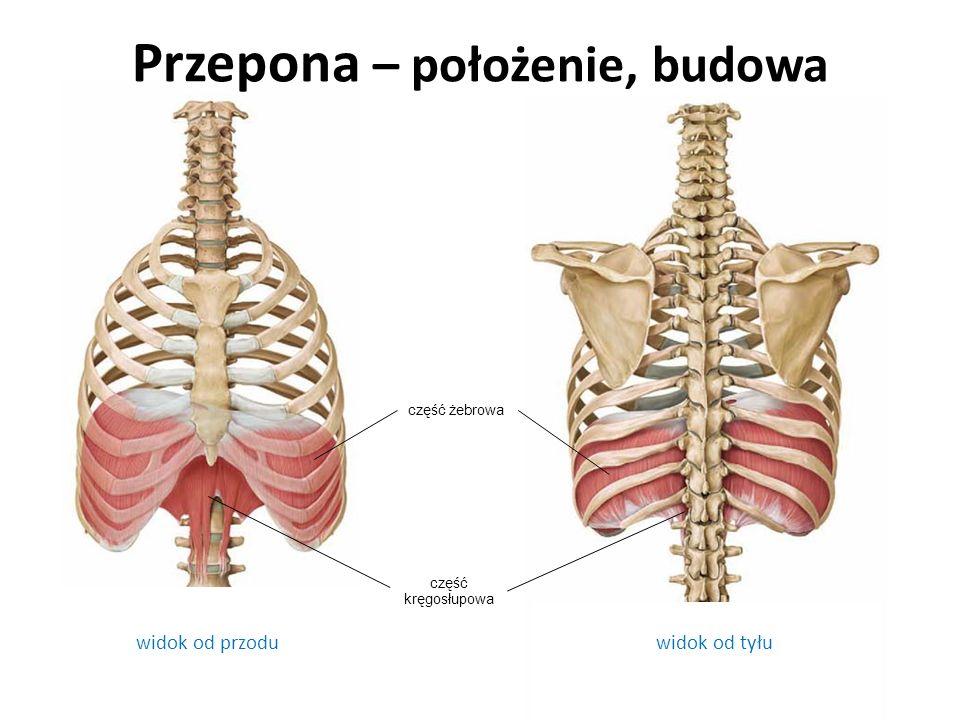 widok od przodu Przepona – położenie, budowa widok od tyłu część żebrowa część kręgosłupowa