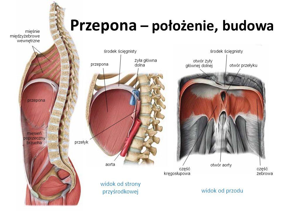 Przepona – położenie, budowa widok od strony przyśrodkowej widok od przodu aorta żyła główna dolna przełyk otwór aorty otwór żyły głównej dolnej otwór