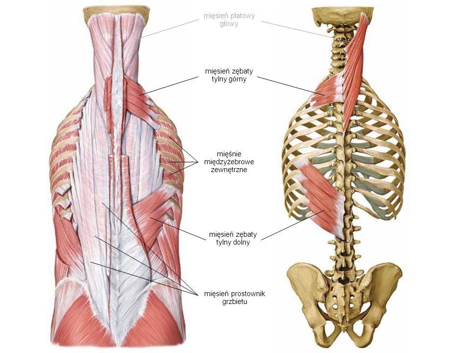mięsień zębaty tylny górny mięsień zębaty tylny dolny mięśnie międzyżebrowe zewnętrzne mięsień prostownik grzbietu mięsień płatowy głowy