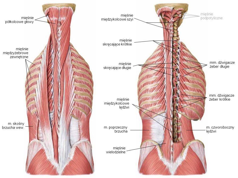 mięśnie skręcające krótkie mięśnie skręcające długie mięśnie międzyżebrowe zewnętrzne m. poprzeczny brzucha mięśnie wielodzielne m. skośny brzucha wew