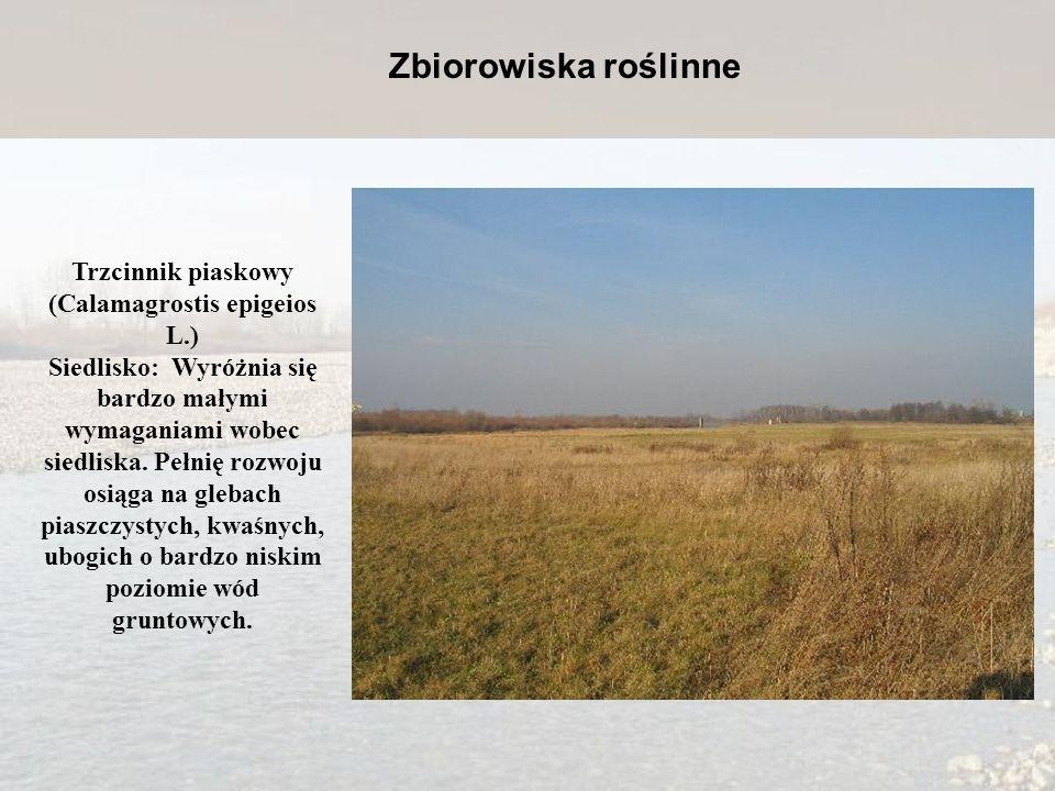 Trzcinnik piaskowy (Calamagrostis epigeios L.) Siedlisko: Wyróżnia się bardzo małymi wymaganiami wobec siedliska. Pełnię rozwoju osiąga na glebach pia