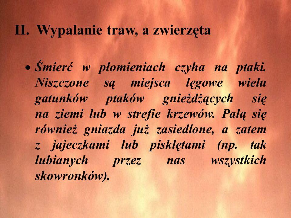 II. Wypalanie traw, a zwierzęta Śmierć w płomieniach czyha na ptaki. Niszczone są miejsca lęgowe wielu gatunków ptaków gnieżdżących się na ziemi lub w
