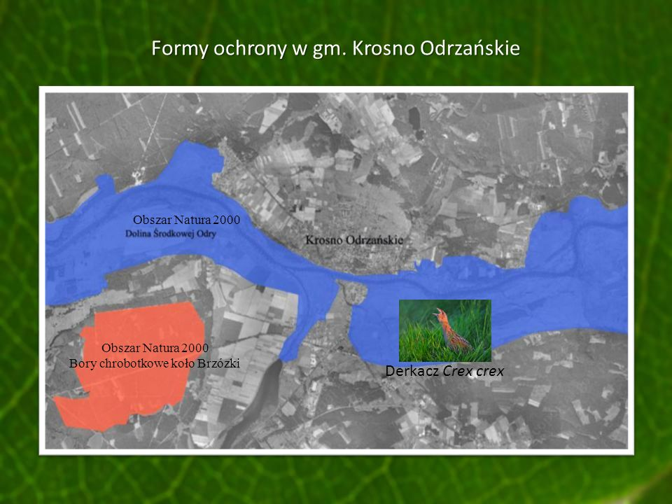 Formy ochrony w gm. Krosno Odrzańskie Obszar Natura 2000 Derkacz Crex crex Obszar Natura 2000 Bory chrobotkowe koło Brzózki