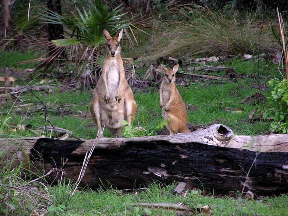 Park zamieszkuje kilka gatunków kangurów i spokrewnionych z nimi torbaczy walaby. Prawdopodobnie tylko tutaj żyje unikający ludzi wallaroo (kangur gór