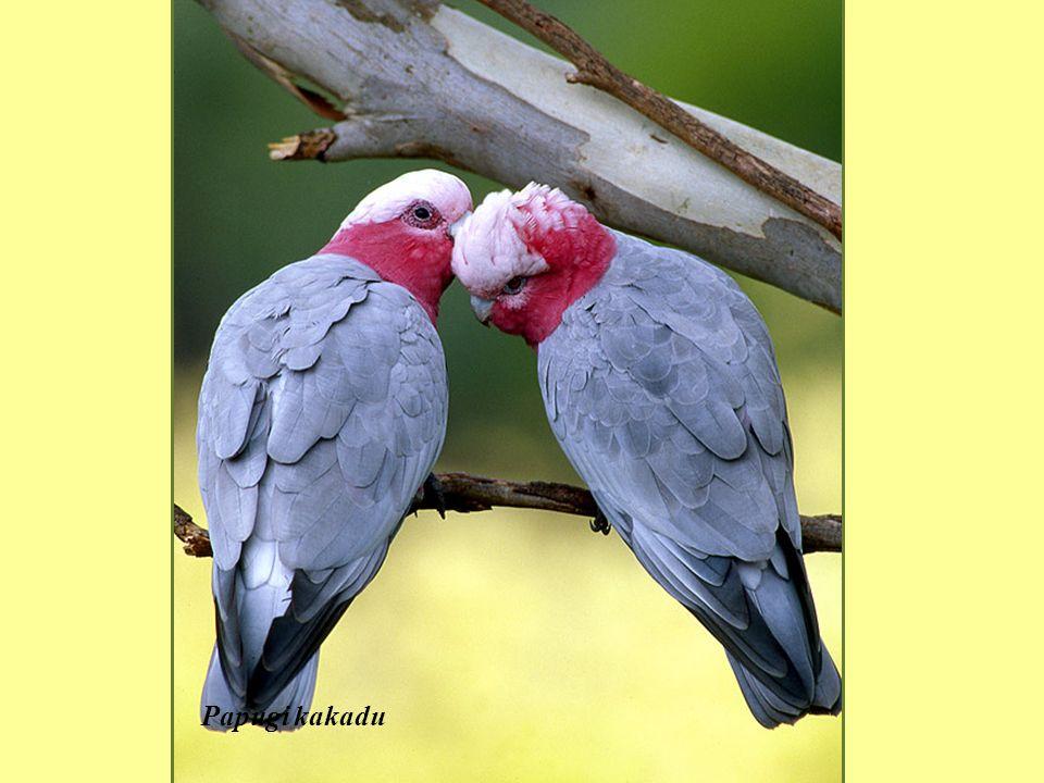 Kakadu wielka, zalobnica palmowa,(Probosciger aterrimus)