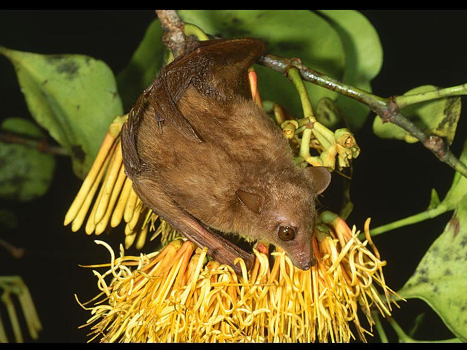 Park Kakadu stanowi również schronienie dla 26 gatunków nietoperzy, w tym czterech odmian zagrożonych całkowitym wyginięciem.