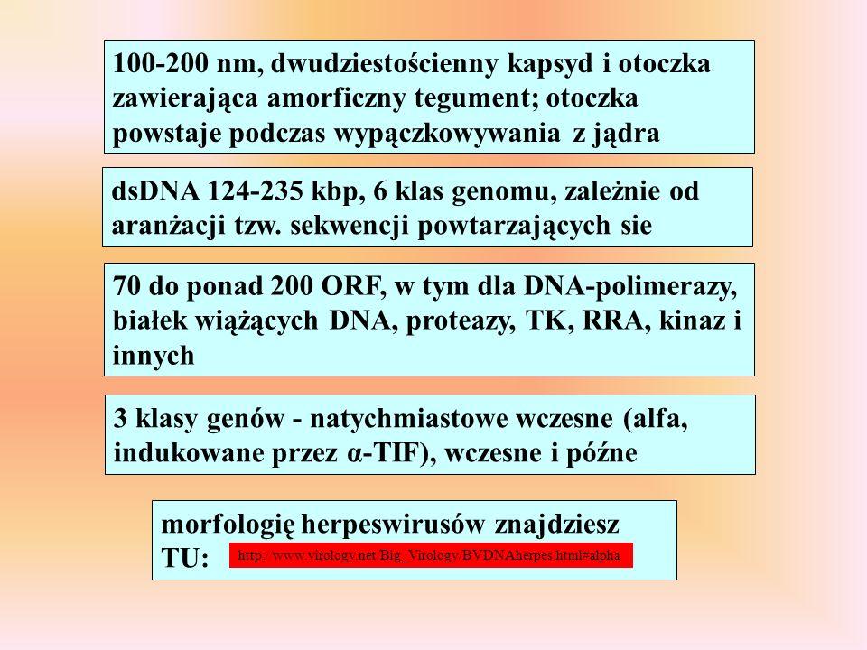 100-200 nm, dwudziestościenny kapsyd i otoczka zawierająca amorficzny tegument; otoczka powstaje podczas wypączkowywania z jądra dsDNA 124-235 kbp, 6