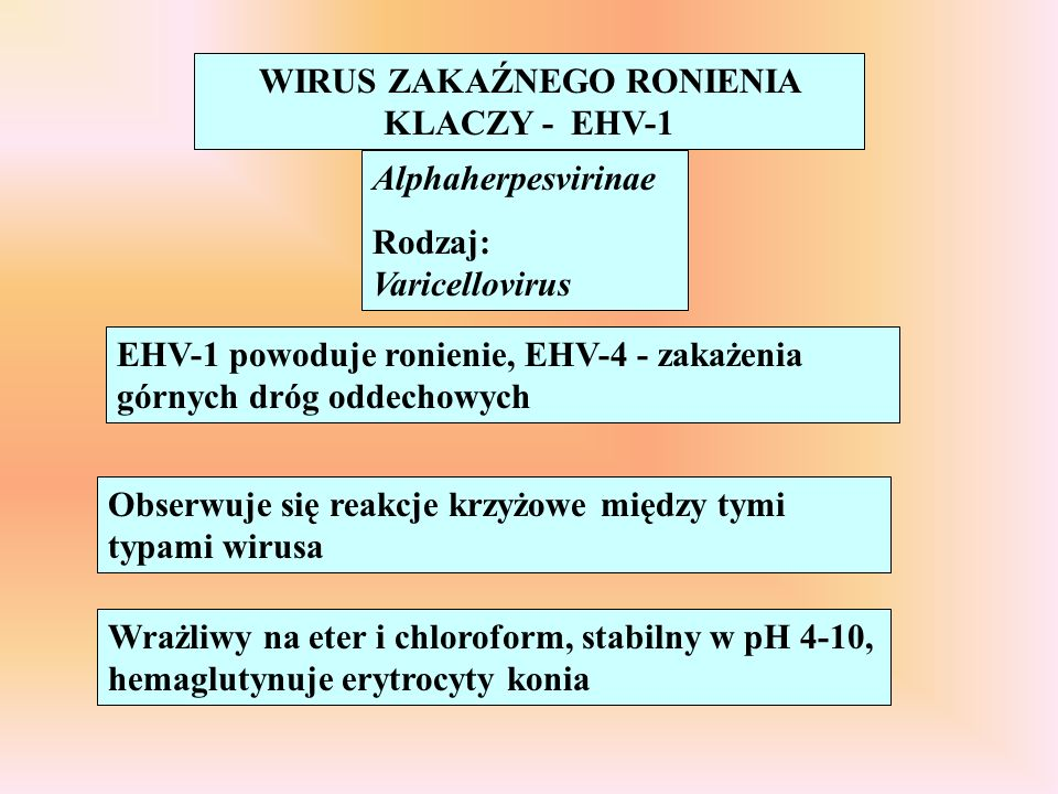 WIRUS ZAKAŹNEGO RONIENIA KLACZY - EHV-1 Alphaherpesvirinae Rodzaj: Varicellovirus EHV-1 powoduje ronienie, EHV-4 - zakażenia górnych dróg oddechowych