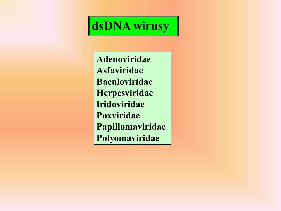 ssDNA, 4-6 kb, 2 główne geny - REP (kodujący funkcje niezbędne do transkrypcji i replikacji DNA) i CAP (kodujący białka strukturalne); u niektórych członków rodziny występują dodatkowe ORFs Enkapsydacji ulegają zarówno nici ssDNA + jak i -, z różną efektywnością Densovirus kodują REP i CAP na komplementarnych niciach Wirusy autonomiczne mają ssDNA - - komplementarny do mRNA dependowirusy - AAV - ssDNA+ lub- z delecjami - do replikacji wymagają zakażenia helperem - adeno lub herpes
