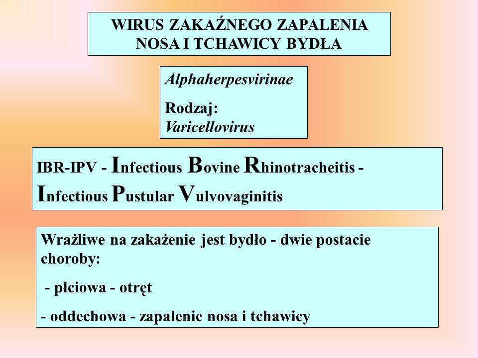 WIRUS ZAKAŹNEGO ZAPALENIA NOSA I TCHAWICY BYDŁA Alphaherpesvirinae Rodzaj: Varicellovirus IBR-IPV - I nfectious B ovine R hinotracheitis - I nfectious