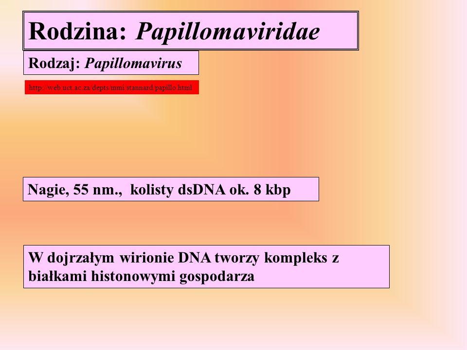 Rodzina: Papillomaviridae Rodzaj: Papillomavirus Nagie, 55 nm., kolisty dsDNA ok. 8 kbp W dojrzałym wirionie DNA tworzy kompleks z białkami histonowym