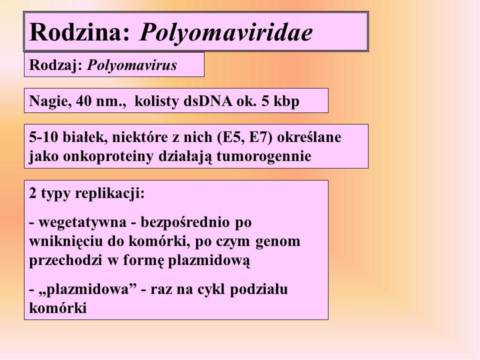 Rodzina: Polyomaviridae Rodzaj: Polyomavirus Nagie, 40 nm., kolisty dsDNA ok. 5 kbp 5-10 białek, niektóre z nich (E5, E7) określane jako onkoproteiny