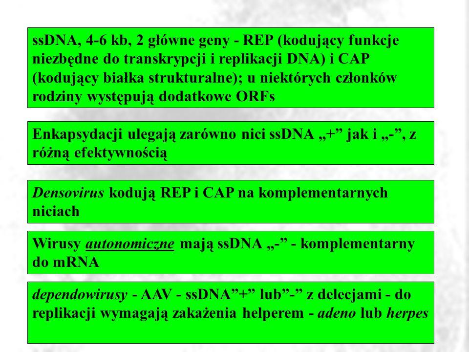 ssDNA, 4-6 kb, 2 główne geny - REP (kodujący funkcje niezbędne do transkrypcji i replikacji DNA) i CAP (kodujący białka strukturalne); u niektórych cz
