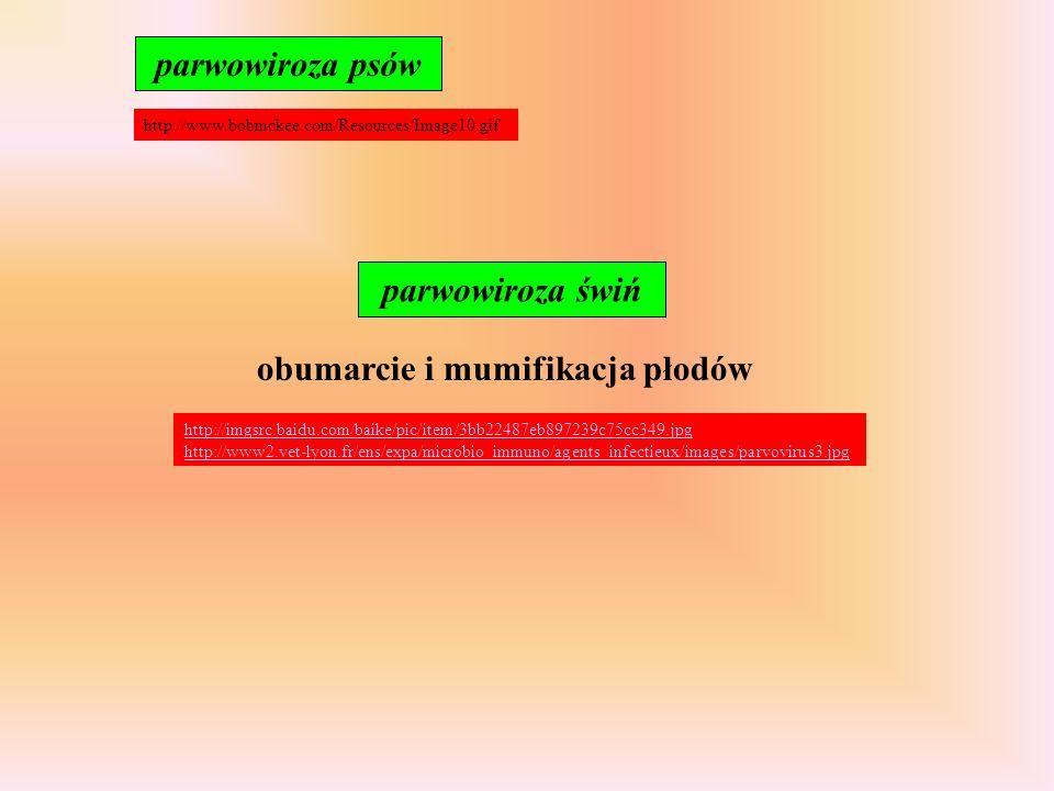 parwowiroza psów http://www.bobmckee.com/Resources/Image10.gif obumarcie i mumifikacja płodów parwowiroza świń http://imgsrc.baidu.com/baike/pic/item/