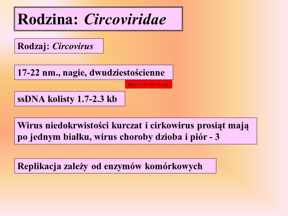 Rodzina: Circoviridae Rodzaj: Circovirus 17-22 nm., nagie, dwudziestościenne ssDNA kolisty 1.7-2.3 kb Wirus niedokrwistości kurczat i cirkowirus prosi