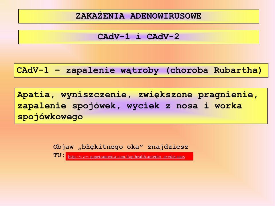 ZAKAŻENIA ADENOWIRUSOWE CAdV-1 – zapalenie wątroby (choroba Rubartha) CAdV-1 i CAdV-2 Apatia, wyniszczenie, zwiększone pragnienie, zapalenie spojówek,