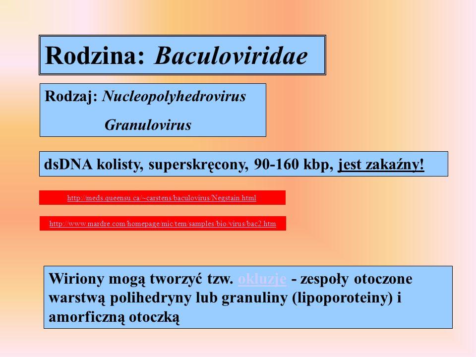 Rodzina: Baculoviridae Rodzaj: Nucleopolyhedrovirus Granulovirus dsDNA kolisty, superskręcony, 90-160 kbp, jest zakaźny! http://www.mardre.com/homepag