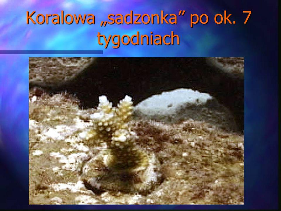 Koralowa sadzonka po ok. 7 tygodniach