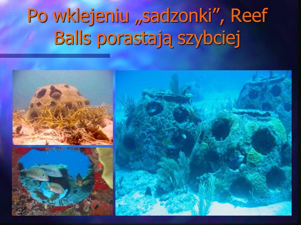 Po wklejeniu sadzonki, Reef Balls porastają szybciej