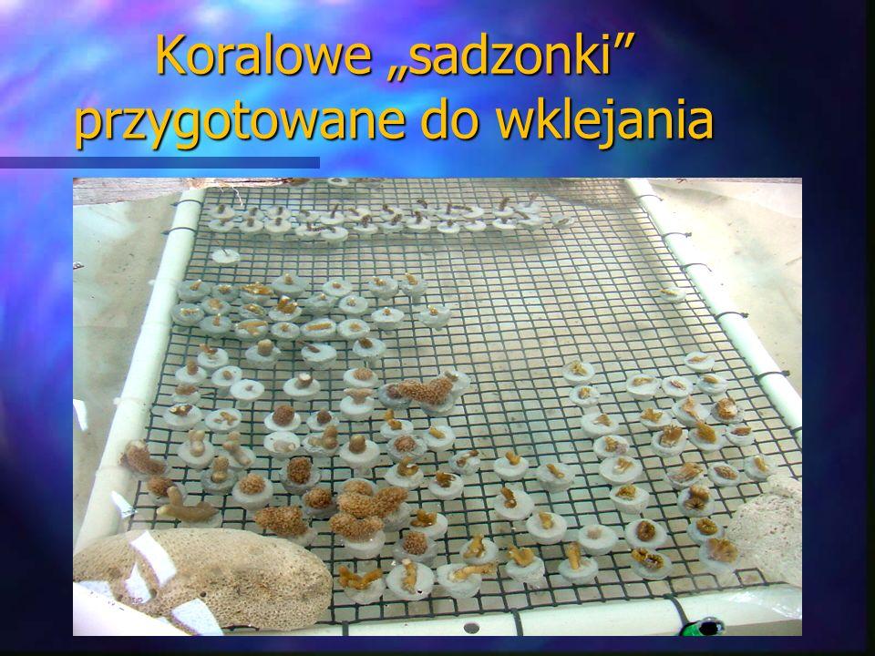 Koralowe sadzonki przygotowane do wklejania