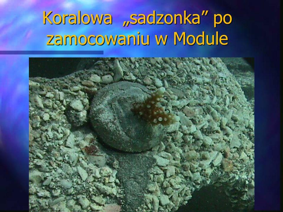 Koralowa sadzonka po zamocowaniu w Module