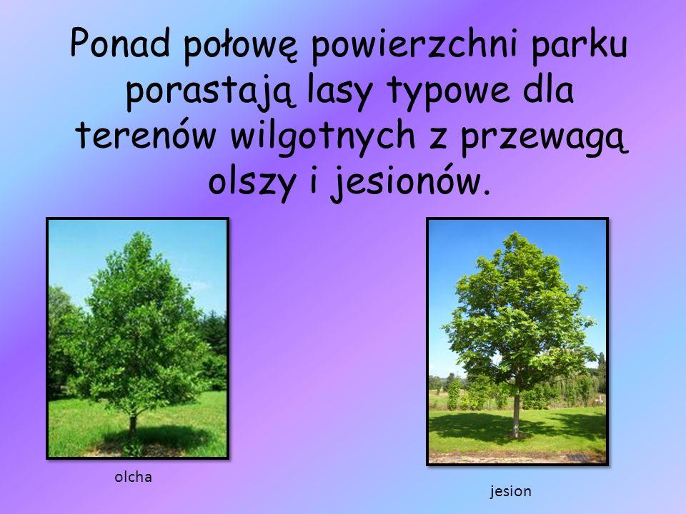 Ponad połowę powierzchni parku porastają lasy typowe dla terenów wilgotnych z przewagą olszy i jesionów. olcha jesion