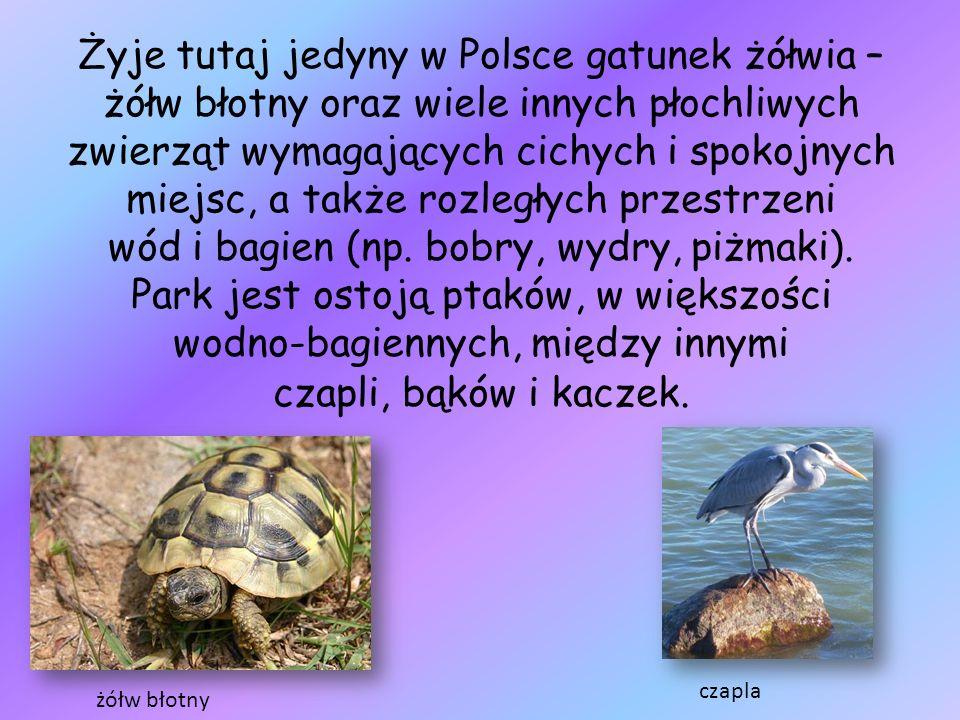 Żyje tutaj jedyny w Polsce gatunek żółwia – żółw błotny oraz wiele innych płochliwych zwierząt wymagających cichych i spokojnych miejsc, a także rozle