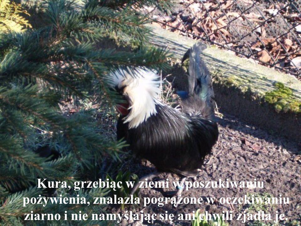 Kura, grzebiąc w ziemi w poszukiwaniu pożywienia, znalazła pogrążone w oczekiwaniu ziarno i nie namyślając się ani chwili zjadła je.