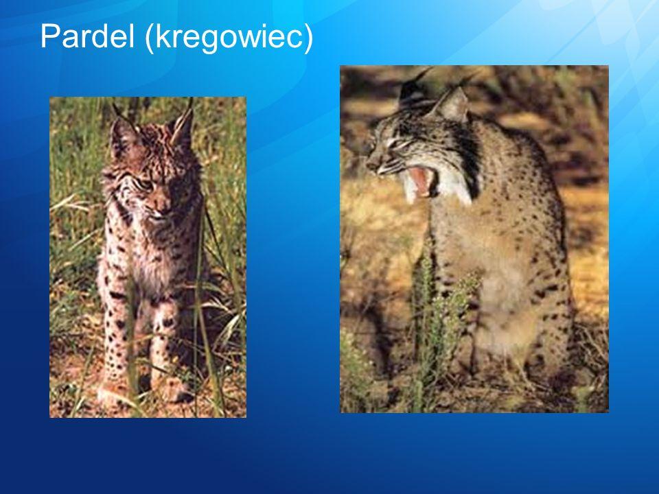 Pardel (kregowiec)