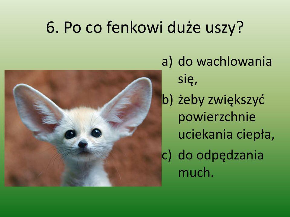 6. Po co fenkowi duże uszy? a)do wachlowania się, b)żeby zwiększyć powierzchnie uciekania ciepła, c)do odpędzania much.