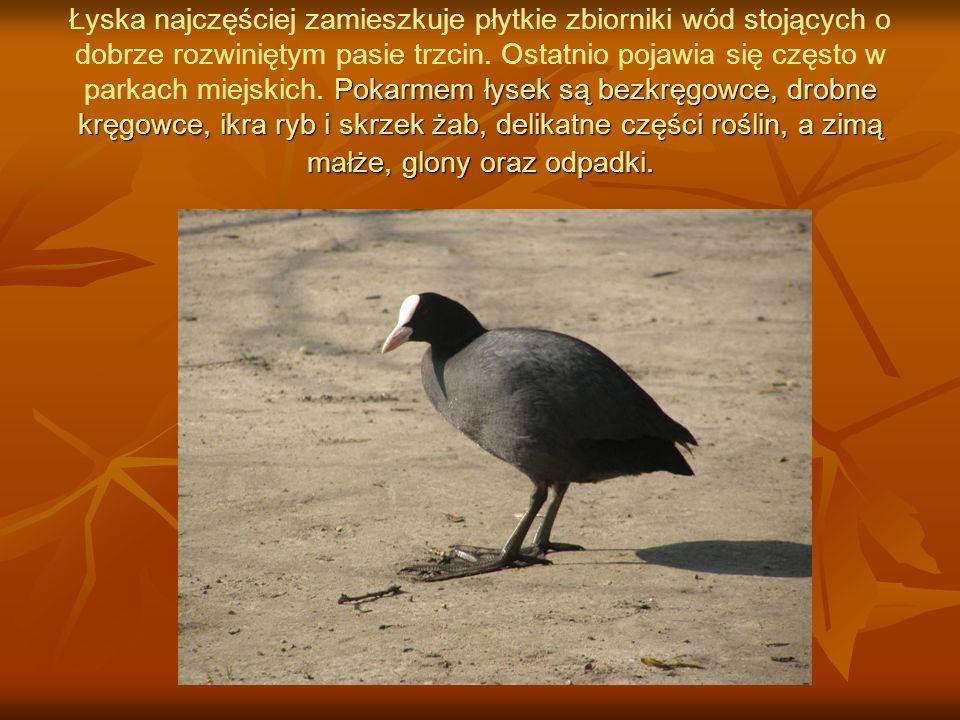 Gniazdo ma ukryte w trzcinach, na skraju płytkiej wody lub na kopcach turzyc.