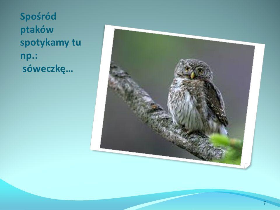 Spośród ptaków spotykamy tu np.: sóweczkę… 7