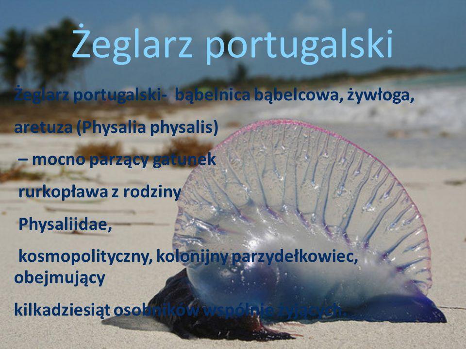 Żeglarz portugalski- bąbelnica bąbelcowa, żywłoga, aretuza (Physalia physalis) – mocno parzący gatunek rurkopława z rodziny Physaliidae, kosmopolitycz