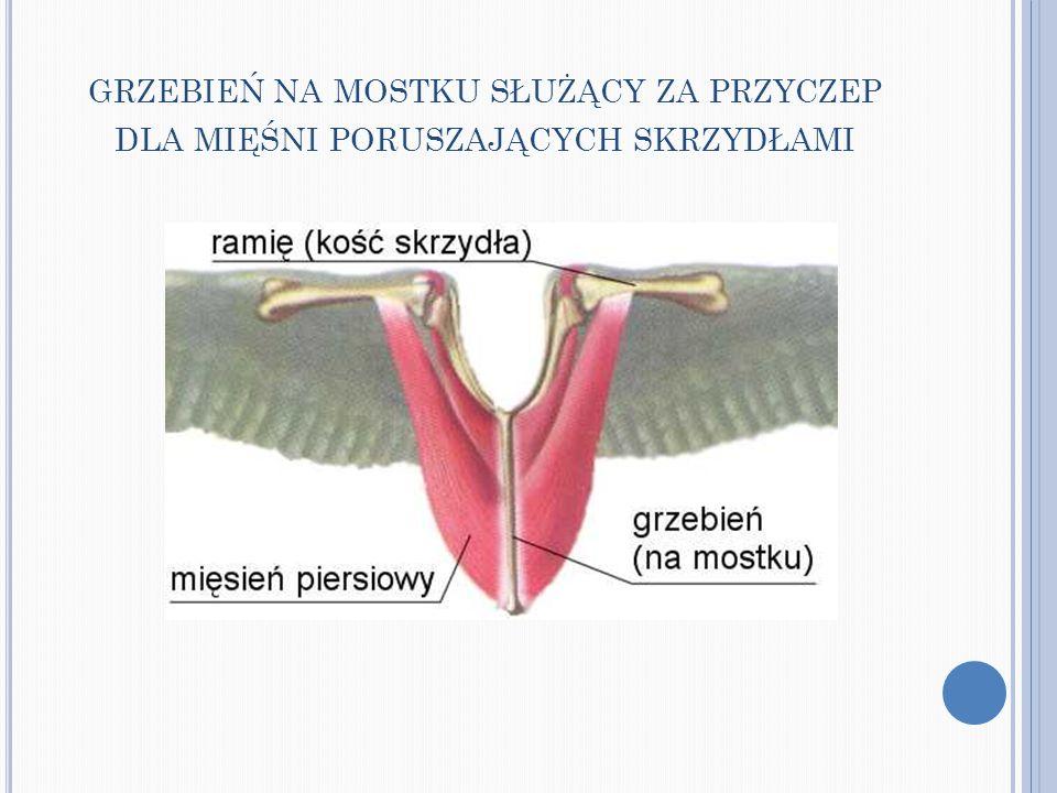 BRAK ZĘBÓW I ZWIĄZANA Z TYM OBECNOŚĆ GASTROLITÓW W ŻOŁĄDKU MIĘŚNIOWYM ( PRZESUNIĘCIE ŚRODKA CIĘŻKOŚCI ) Gastrolity - kamienie znajdujące się w żołądku mięśniowym wielu ptaków.