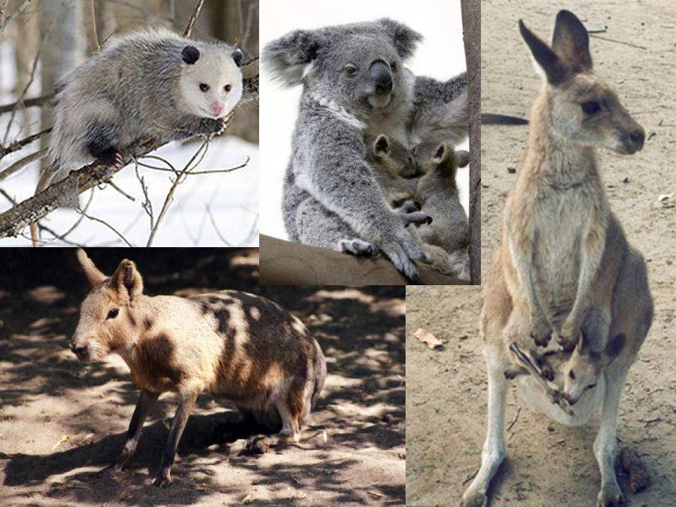 Łożyskowce Ssaki łożyskowe to najliczniejsza i bardzo zróżnicowana grupa ssaków.