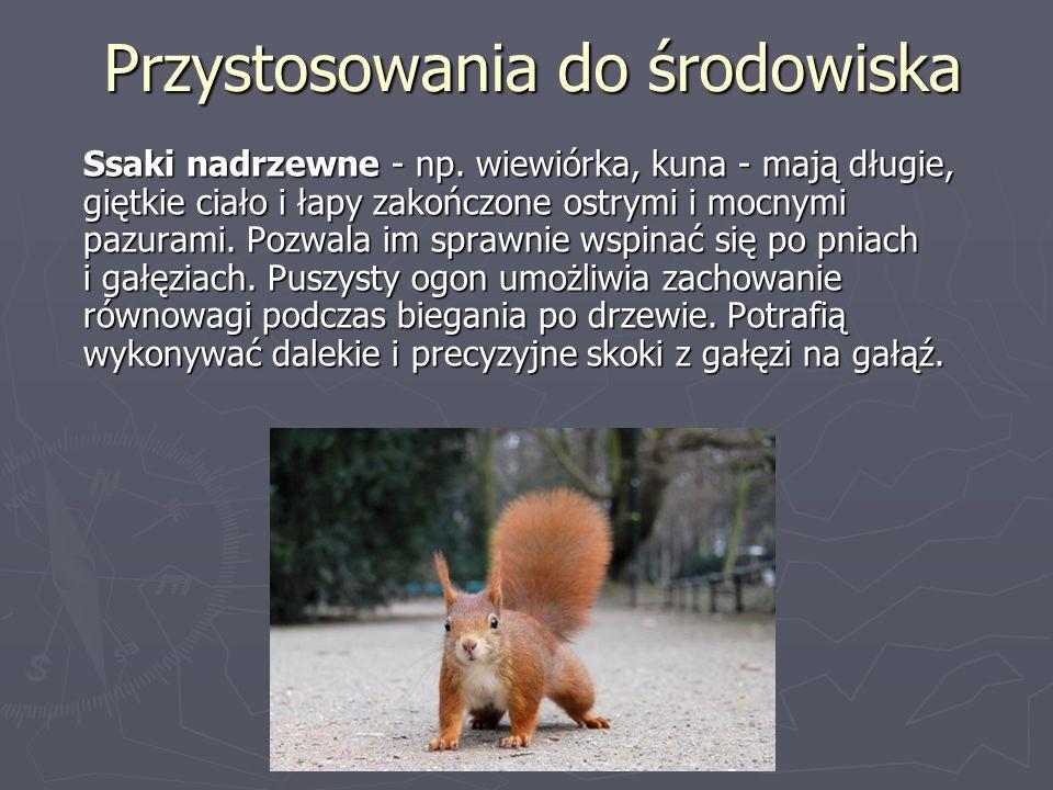 Przystosowania do środowiska Ssaki nadrzewne - np. wiewiórka, kuna - mają długie, giętkie ciało i łapy zakończone ostrymi i mocnymi pazurami. Pozwala