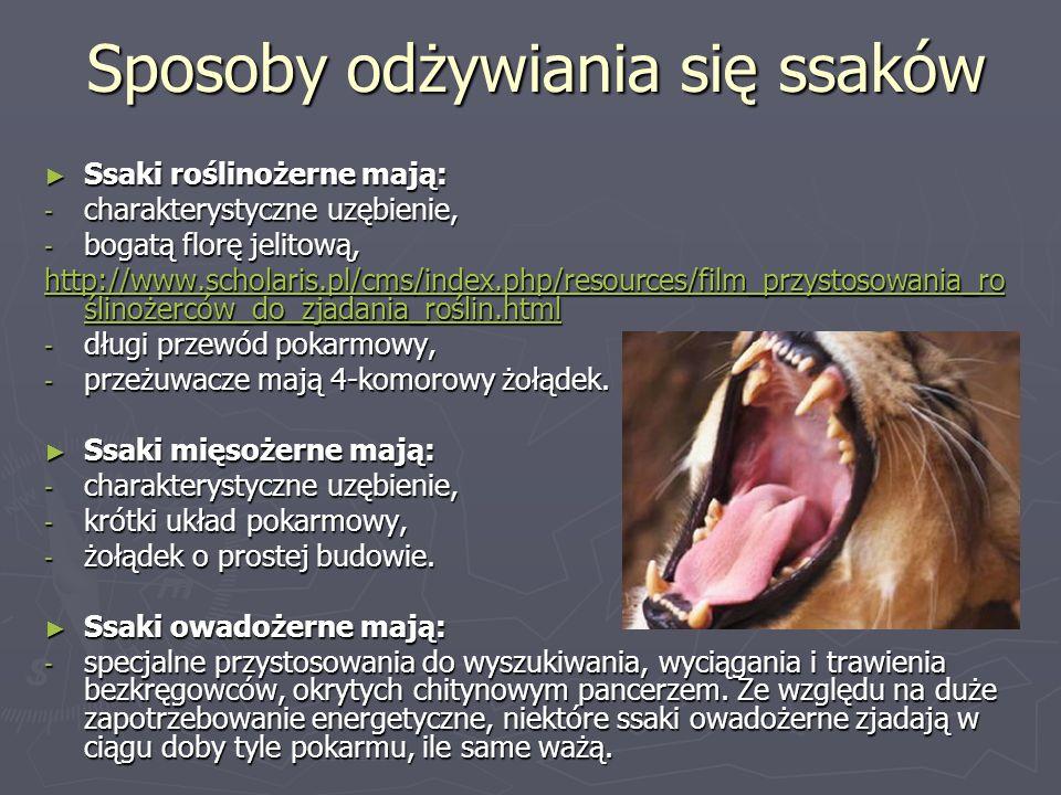 Sposoby odżywiania się ssaków Ssaki roślinożerne mają: Ssaki roślinożerne mają: - charakterystyczne uzębienie, - bogatą florę jelitową, http://www.scholaris.pl/cms/index.php/resources/film_przystosowania_ro ślinożerców_do_zjadania_roślin.html http://www.scholaris.pl/cms/index.php/resources/film_przystosowania_ro ślinożerców_do_zjadania_roślin.html - długi przewód pokarmowy, - przeżuwacze mają 4-komorowy żołądek.