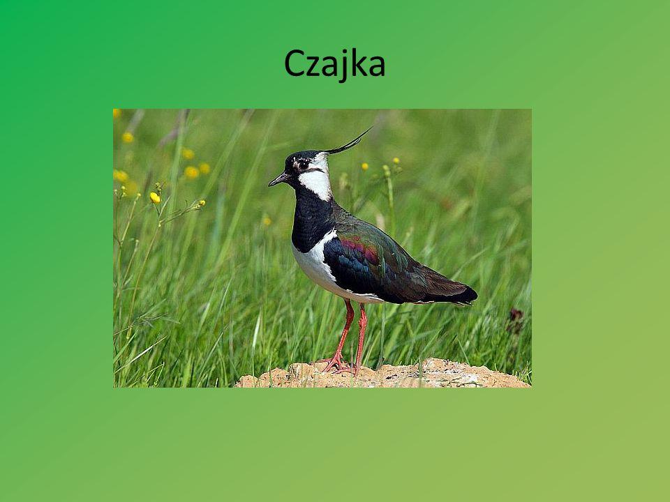 Czajka