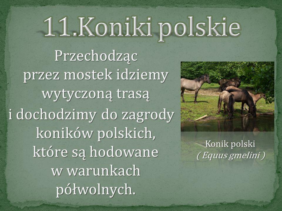Dochodzimy do mostku Mieczysław na strudze Kończak. Ciekawostką jest, że niegdyś na bobry polowano w celu uzyskania sadła, mięsa i cennego futra oraz
