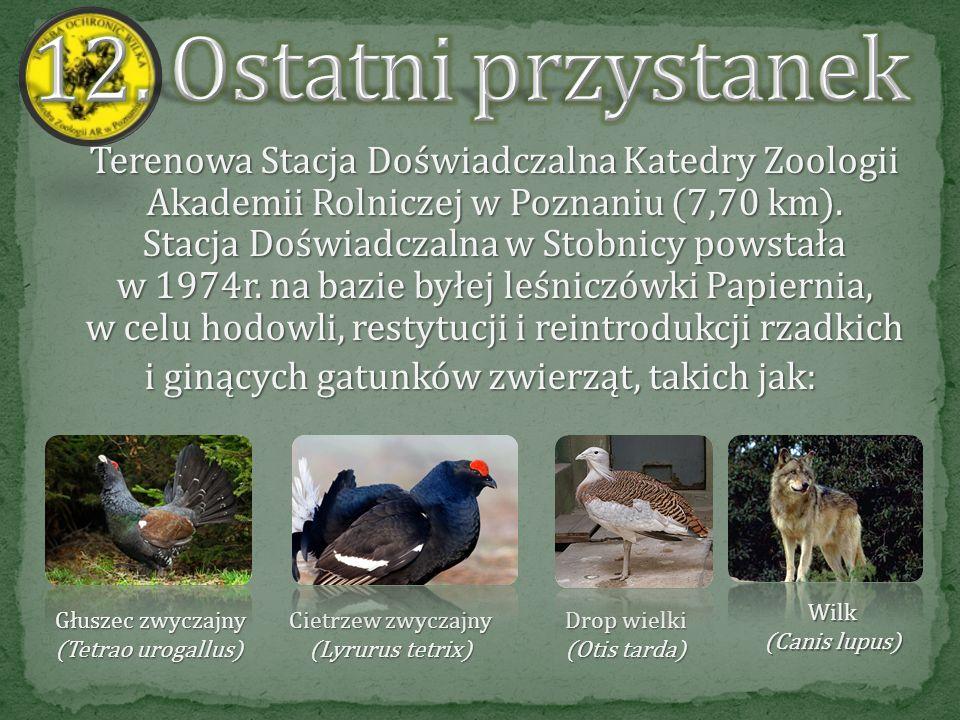 Przechodząc przez mostek idziemy wytyczoną trasą i dochodzimy do zagrody koników polskich, które są hodowane w warunkach półwolnych. Konik polski ( Eq