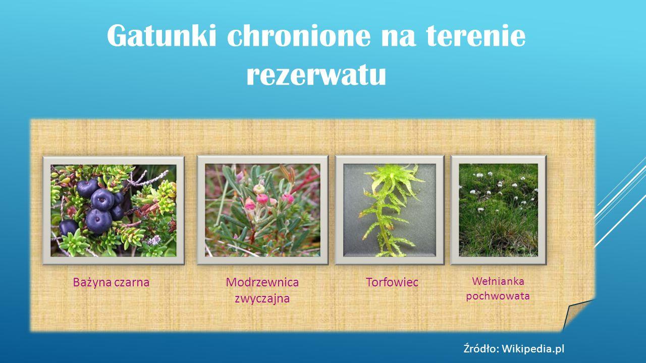 Gatunki chronione na terenie rezerwatu Bażyna czarnaModrzewnica zwyczajna Torfowiec Wełnianka pochwowata Źródło: Wikipedia.pl