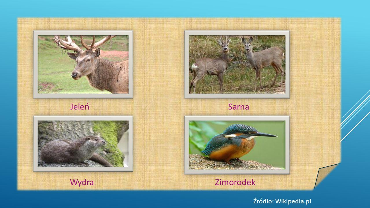 JeleńSarna WydraZimorodek Źródło: Wikipedia.pl