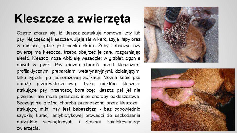 Kleszcze a zwierzęta Często zdarza się, iż kleszcz zaatakuje domowe koty lub psy.