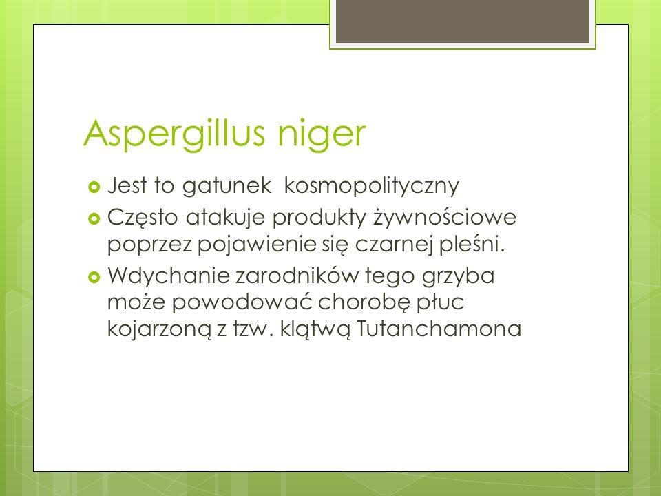 Aspergillus niger Jest to gatunek kosmopolityczny Często atakuje produkty żywnościowe poprzez pojawienie się czarnej pleśni. Wdychanie zarodników tego